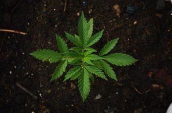 7 Dicas de Ouro, Para Suas Plantas Não Morrerem no Cultivo Indoor.