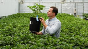 pragas cultivo indoor