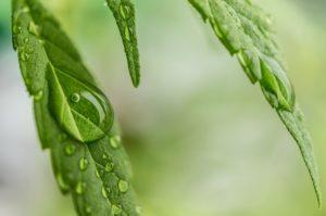 como germinar semente de maconha