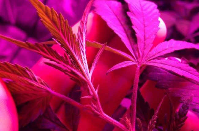 Diário de Cultivo Indoor-4º Episódio- Uma Curiosidade!