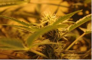 como plantar maconha