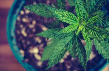 Cultivo Indoor- Que tipo de solo você precisa para cultivar cannabis?