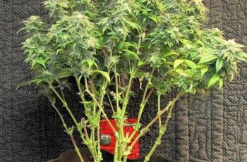 Cultivo Indoor- Clones Colheita Mostro (Monster Cropping)