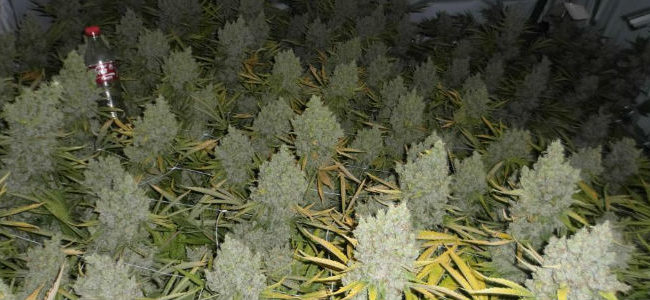 Cultivo Indoor- Você Vai Aprender o Segredo de Como Ter Colheitas de 2 em 2 meses…