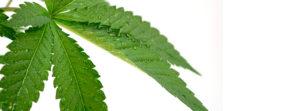 planta de maconha