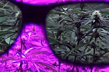 Cultivo Indoor Distância da Luz- Led, HPS,HQI e Fluorescentes (Iluminação)