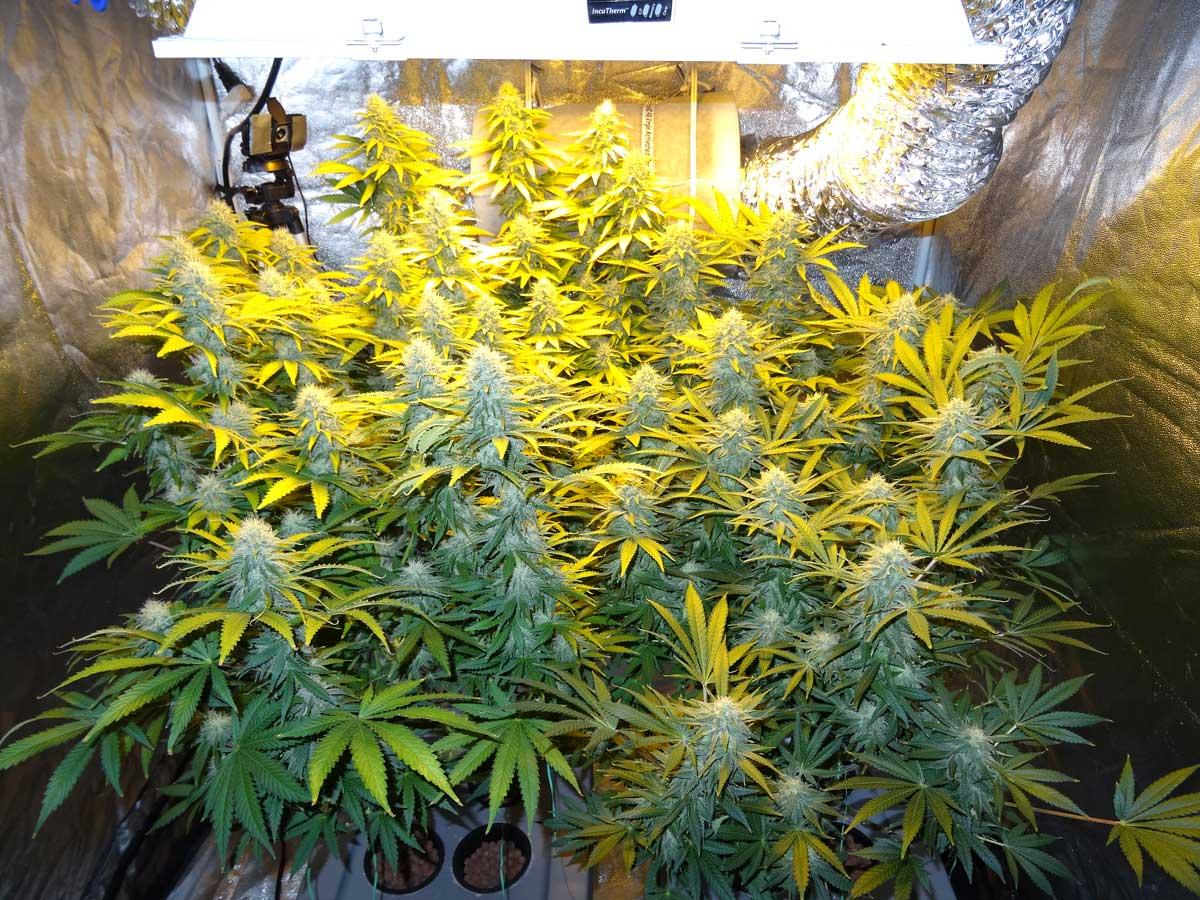 Cultivo Indoor Dist 226 Ncia Da Luz Led Hps Hqi E