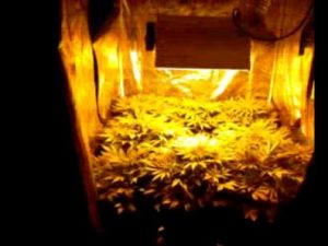 cultivo indoor distância da luz