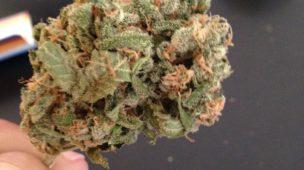 colheitas de cannabis medicinal
