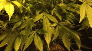 cultivo indoor maconha medicinal