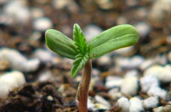 Germinação de Sementes de Cannabis (Maconha)