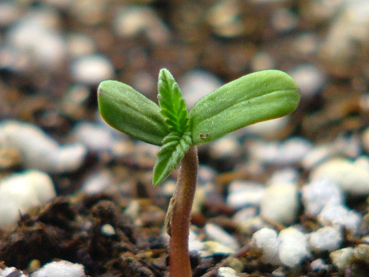 germinação de cannabis