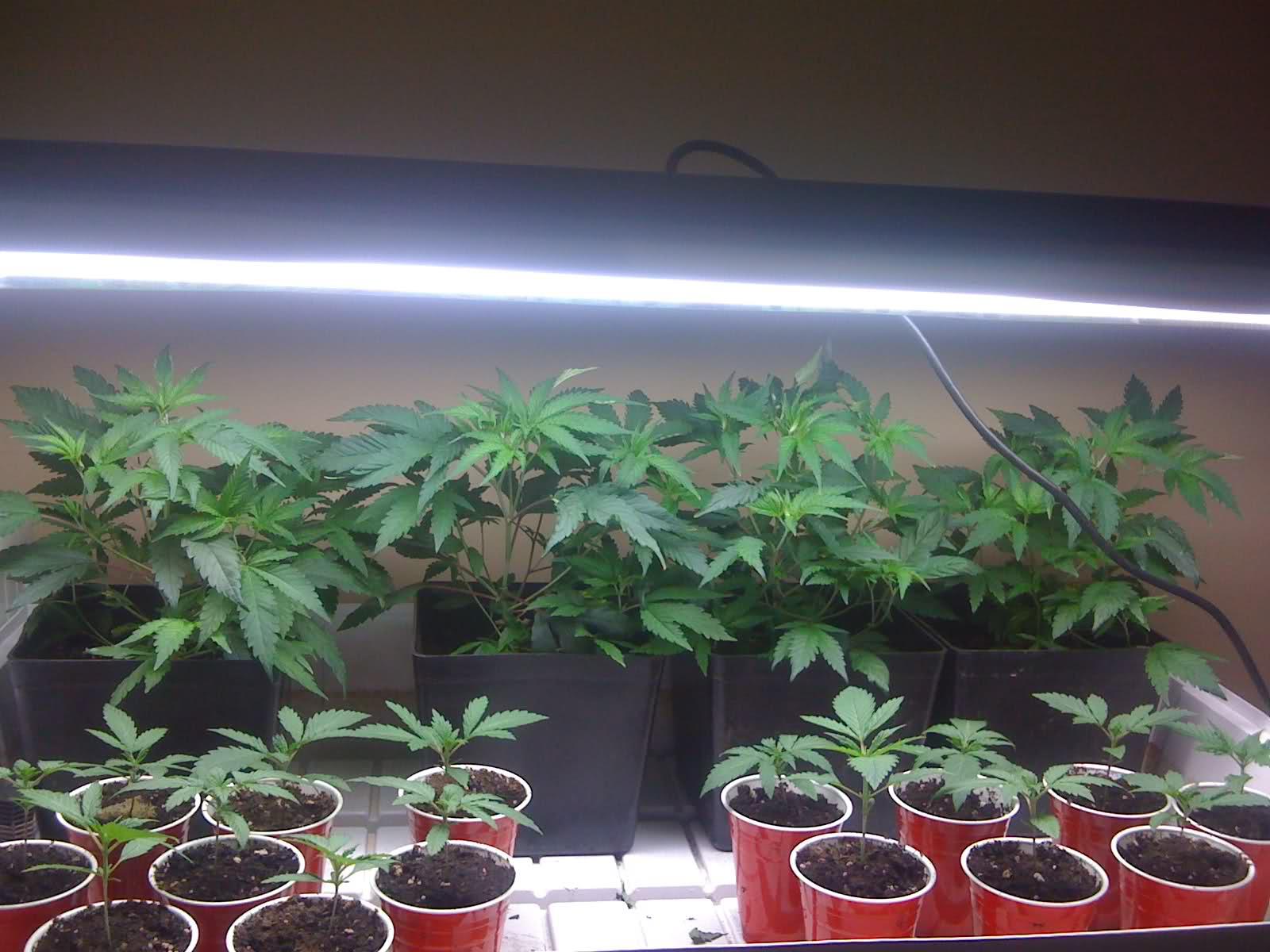 veja aqui como germinar sementes de cannabis maconha. Black Bedroom Furniture Sets. Home Design Ideas