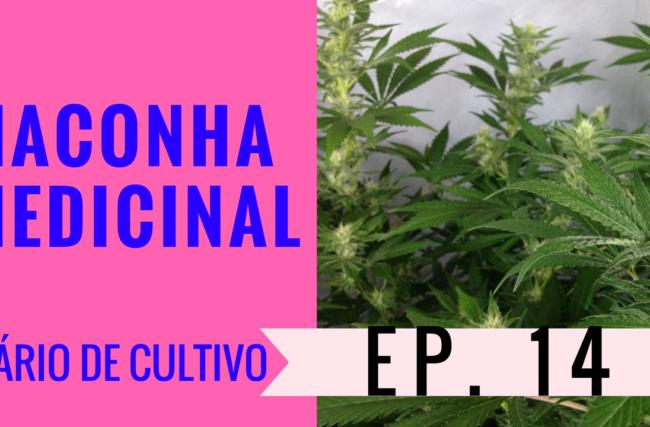 Cultivo Indoor- Maconha Medicinal- Flora- Diário de Cultivo Episódio 14