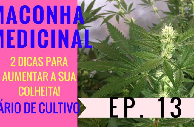 Cultivo Indoor- Maconha Medicinal- 2 Dicas Para Aumentar a Sua Colheita- Diário de Cultivo Episódio 13