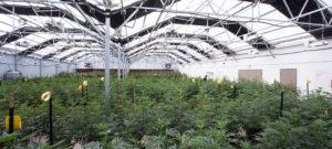 Cannabis Medicinal no Brasil