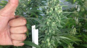 cultivo indoor floração