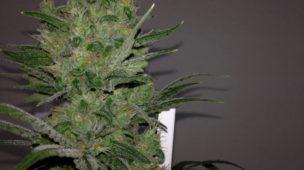 cultivar maconha