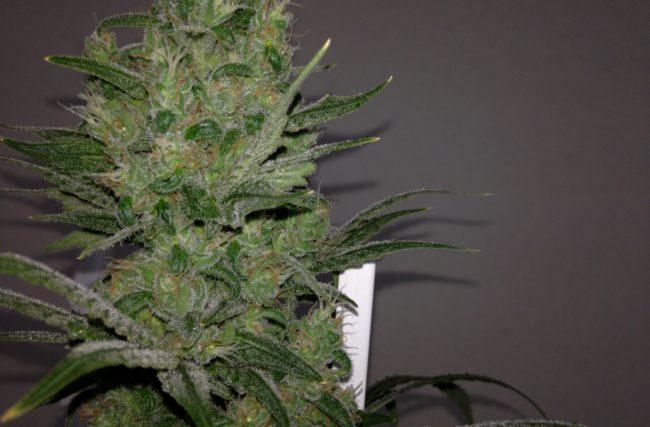 Cultivo Indoor Hora da Colheita- Maconha Medicinal- Flora- Diário de Cultivo Episódio 19