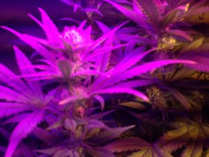 cultivo indoor led