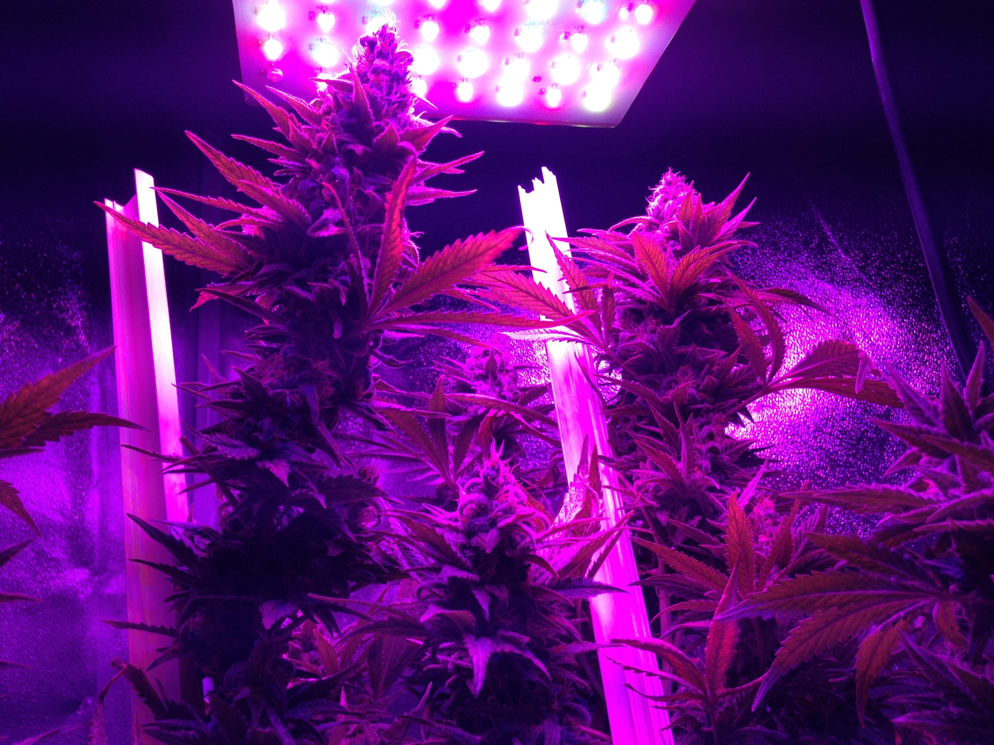 Os maiores segredos do cultivo indoor de maconha com leds - Pantalla led cultivo interior ...
