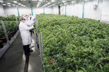 3 Dicas Para Grande Cultivos de Cannabis Medicinal Para Empresas