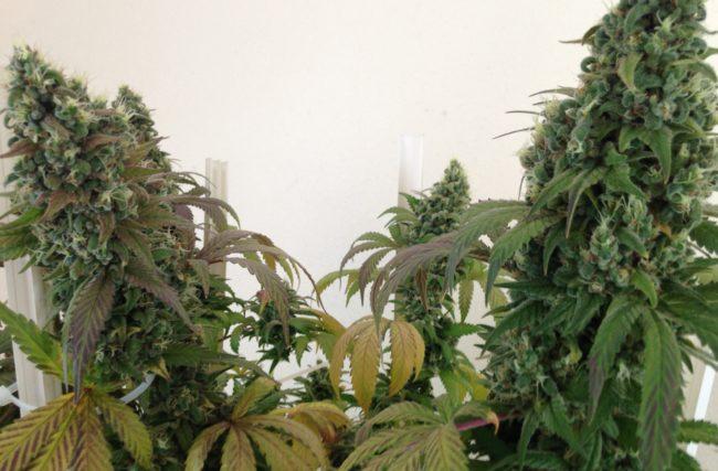 Cultivo indoor passo a passo | 7 passos para começar o seu cultivo