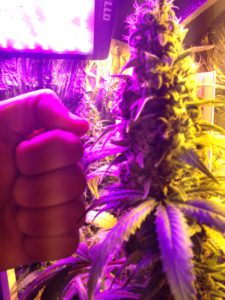 biologia da cannabis