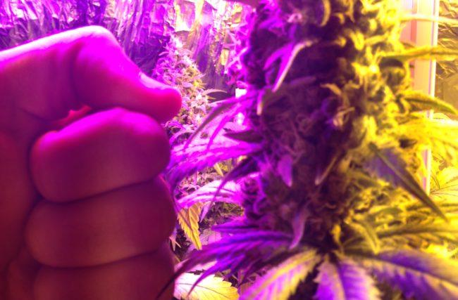 Introdução a Biologia da Cannabis