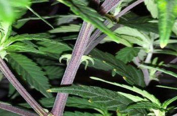 Cannabis Com Caule Roxo É Um Problema? Confira a Grande Verdade