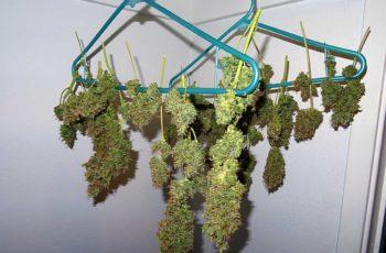 Cultivo Indoor: Boas Colheitas Com Semente de Prensado