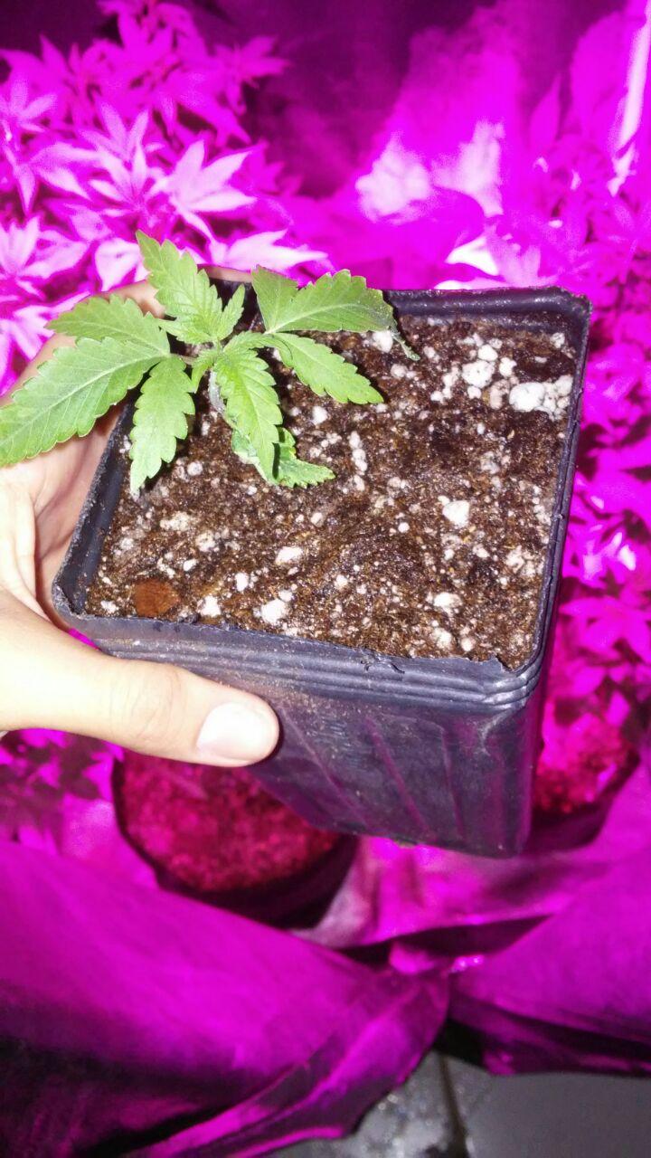 Como Fazer Transplante de Vaso no Cultivo Indoor