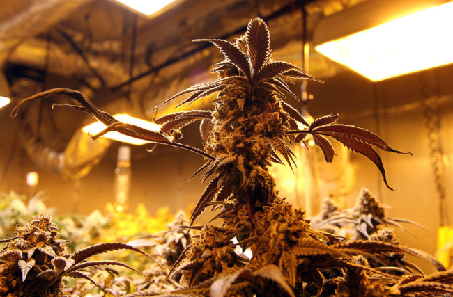 Cultivo Indoor – Estufa