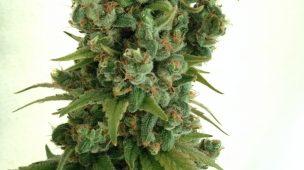 Grower dedo verde