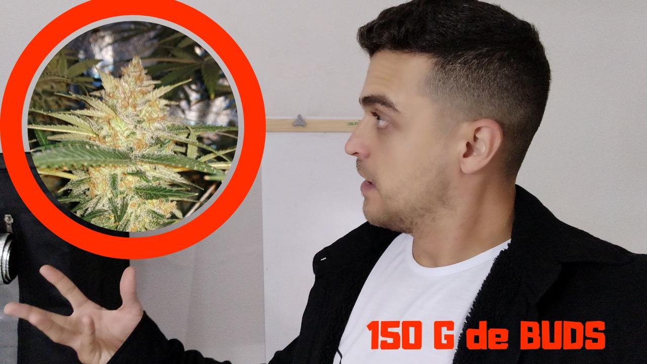 Ele colheu 150 G de Buds no CULTIVO INDOOR *De 1 Planta Só*