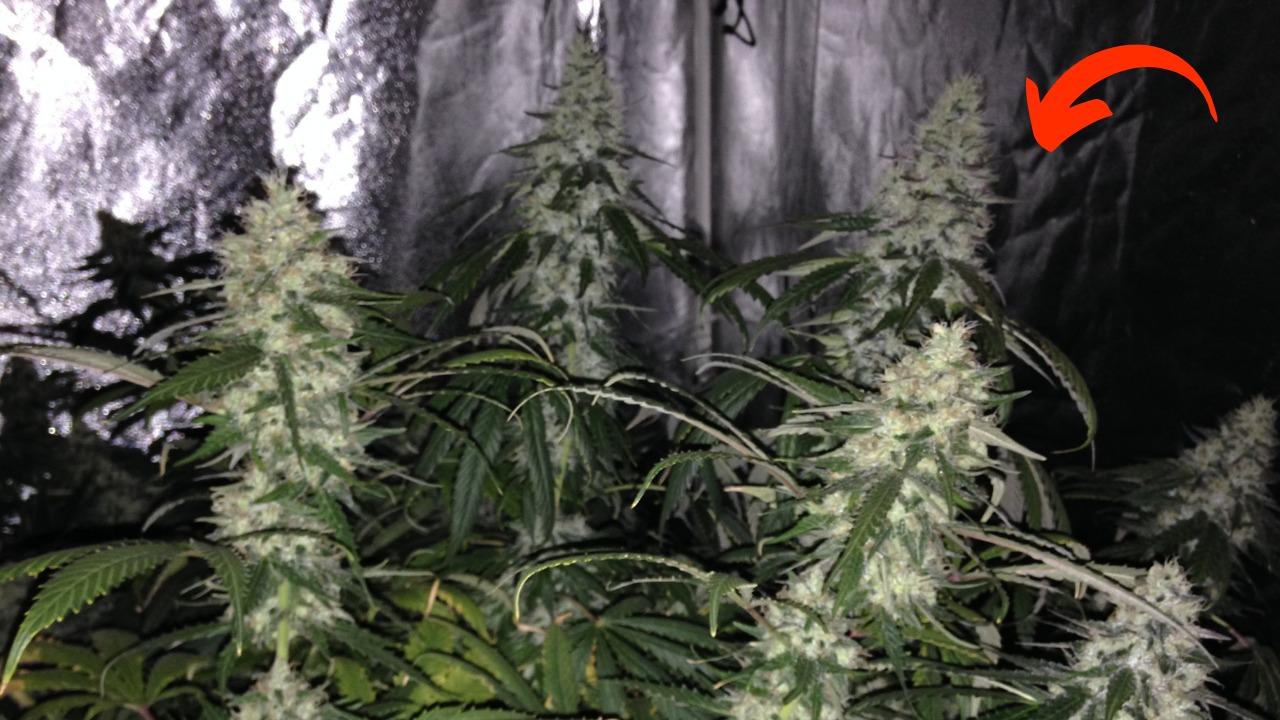 Item nº1 para proteger as suas plantas no seu cultivo indoor