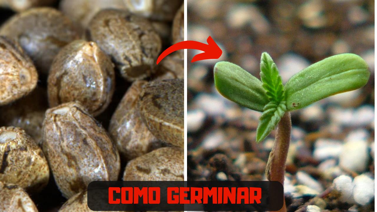 Como germinar uma semente de M A C 0 N H A