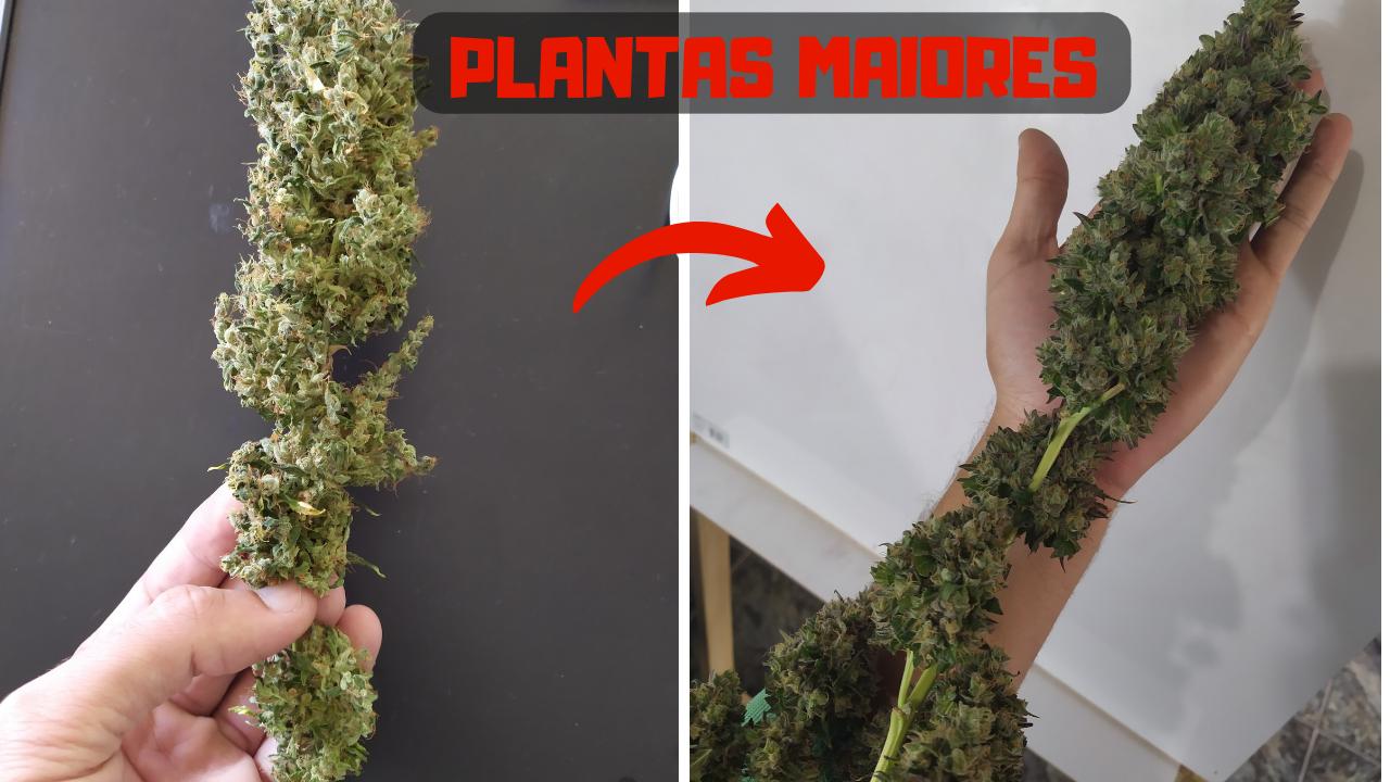 Como ter plantas maiores no CULTIVO INDOOR