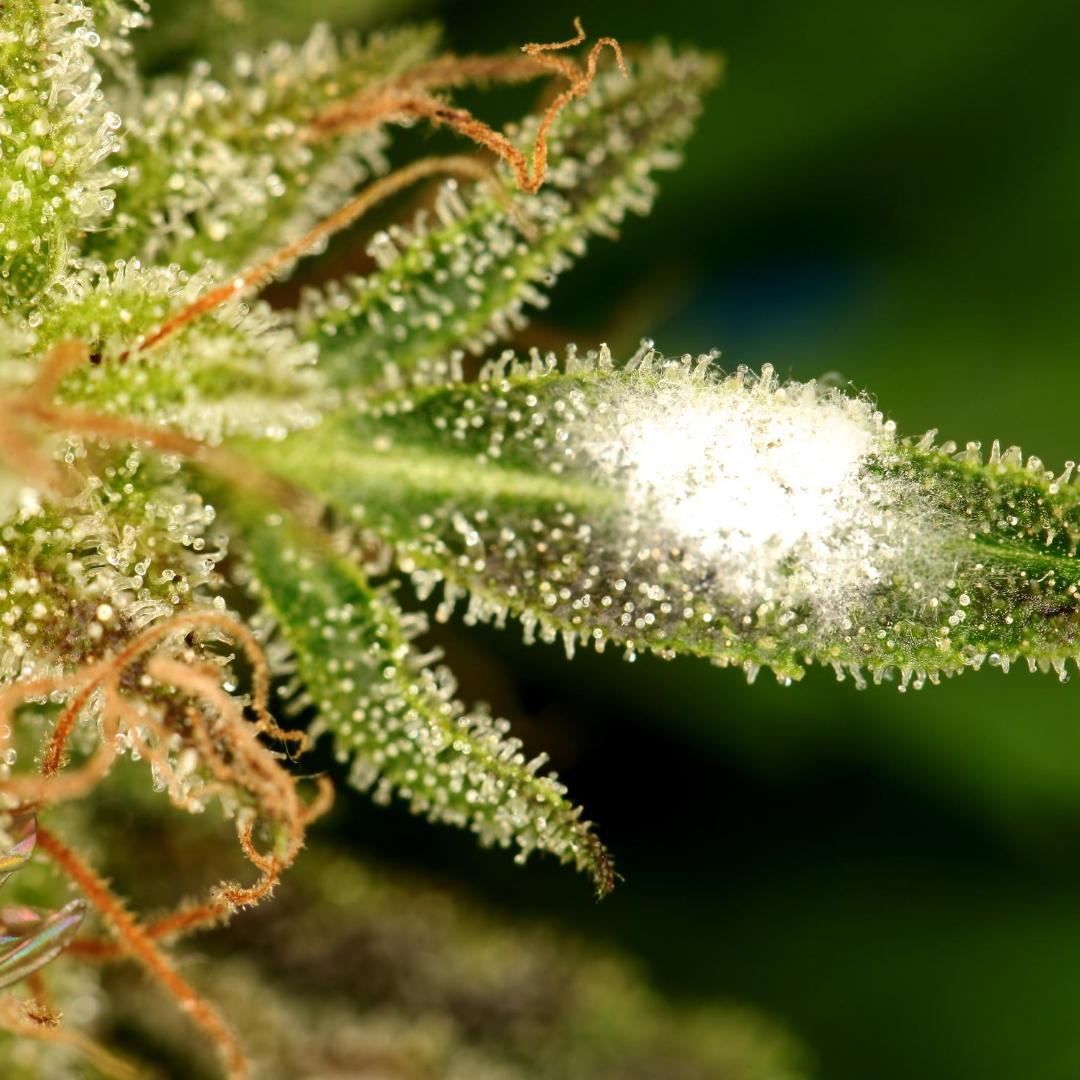 Protegendo suas plantas do Mofo