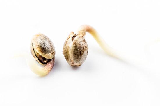 Cuidado! Não caía no G0LPE de sementes de M4C0NHA que está enganando muitas pessoas