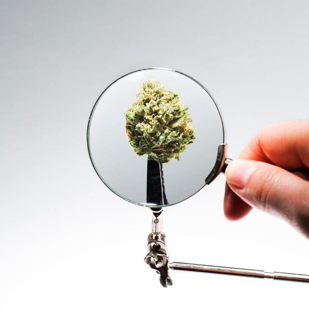 Prevenção e Controle de Pragas No Cultivo de Cannabis