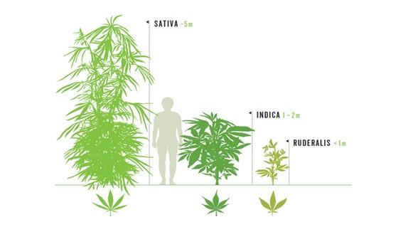 cannabis sativa indica e ruderalis