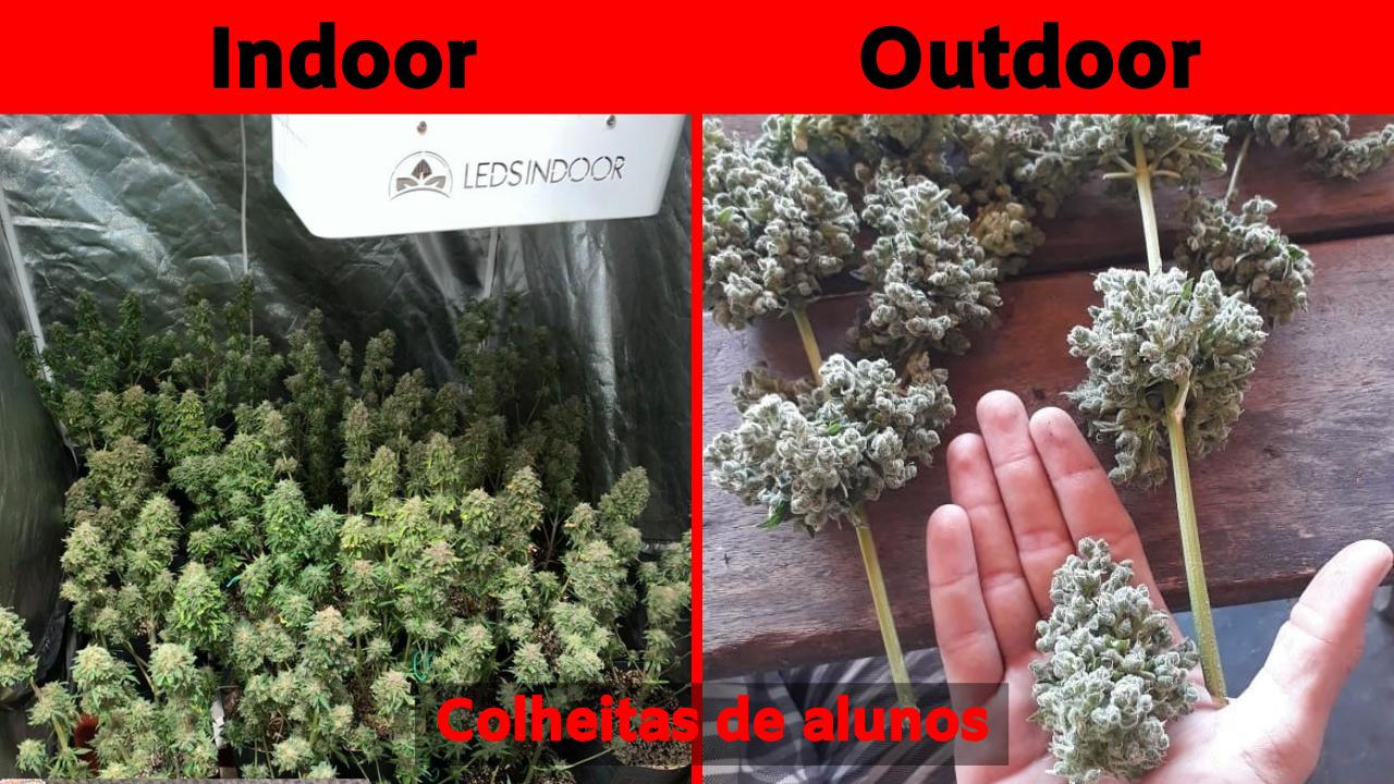Cultivo indoor ou outdoor, qual rende mais ?