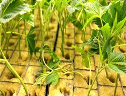 doenças da cannabis damping-off