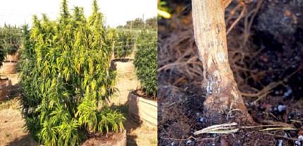 doenças da cannabis fungo nas raízes maconha