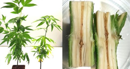 doenças da cannabis