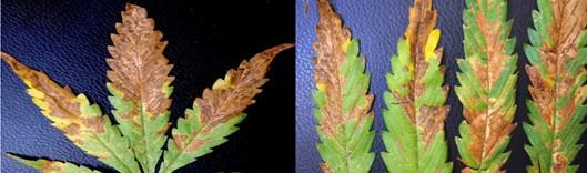 doenças pragas mofo da cannabis