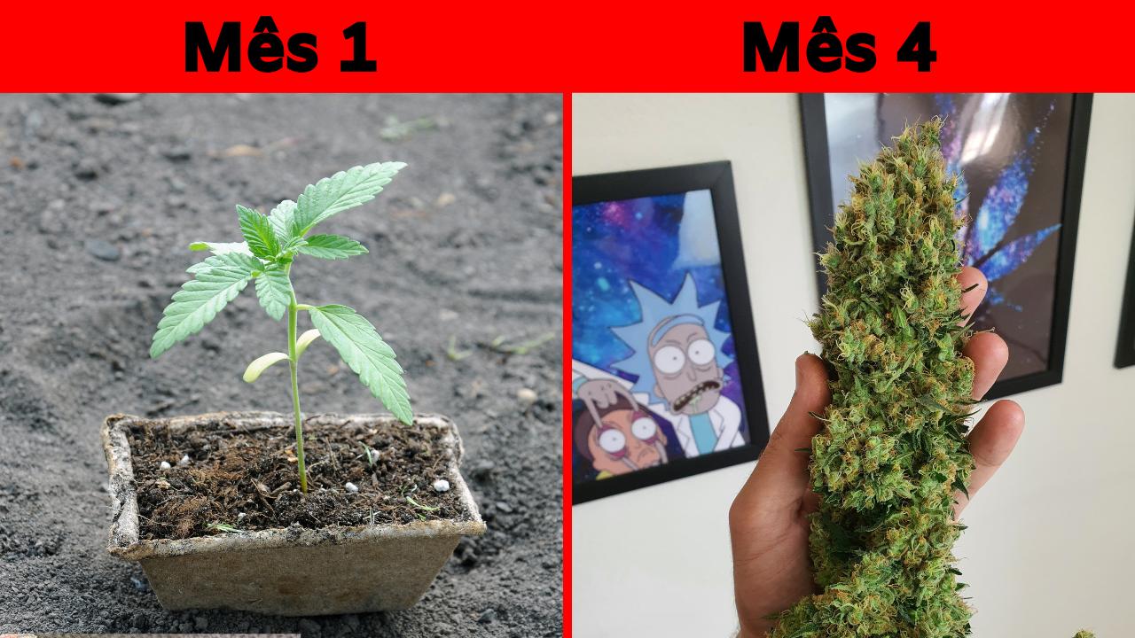 Como começar um cultivo indoor