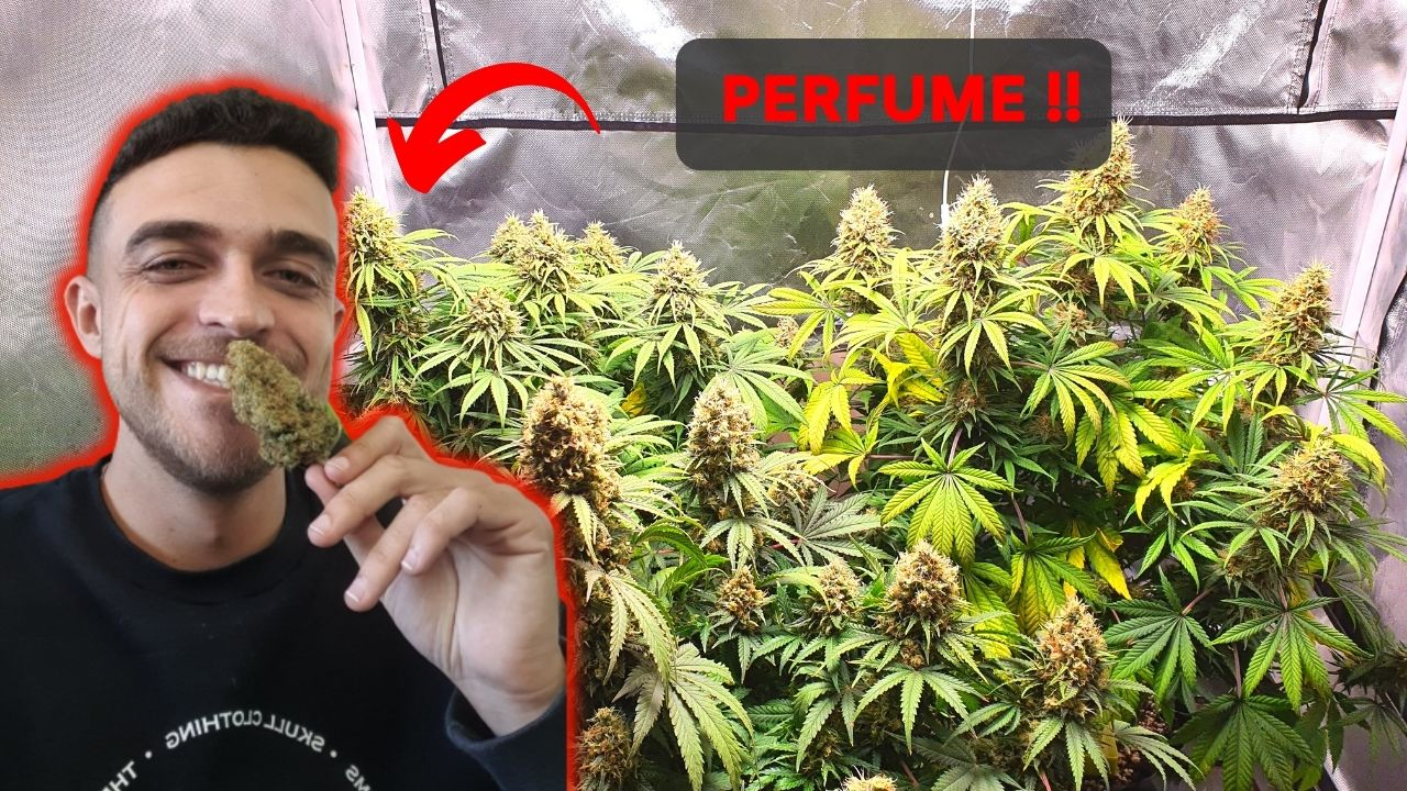 Como eliminar o cheiro do grow / cultivo indoor ou outdoor