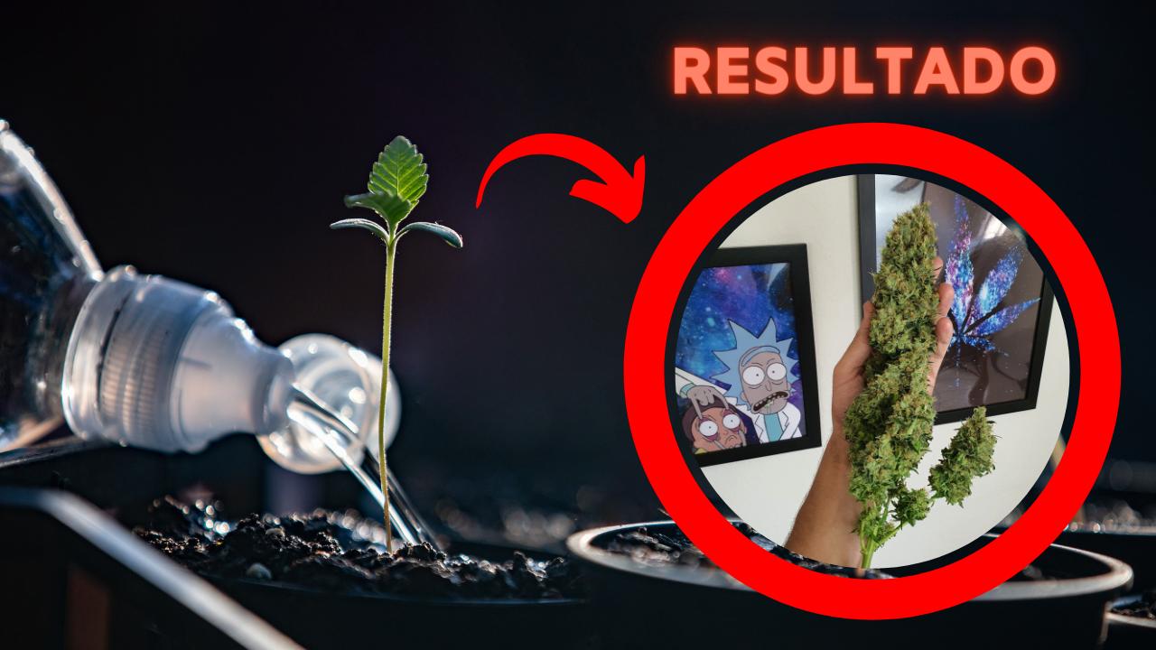 Como regar uma planta no cultivo indoor